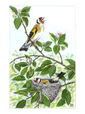 Goldfinch Premium Giclee Print by Friedhelm Weick