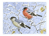 Bullfinch Giclee Print by Friedhelm Weick