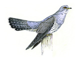 Cuckoo Giclee Print by Friedhelm Weick