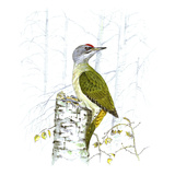 Grey-Faced Woodpecker Giclee Print by Friedhelm Weick