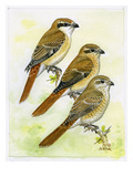 Isabelline Shrike Reproduction procédé giclée par Friedhelm Weick