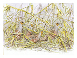 Grey Partridge Reproduction procédé giclée par Friedhelm Weick