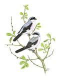 Lesser Grey Shrike Reproduction procédé giclée par Friedhelm Weick