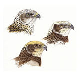 Marsh Harrier Giclee Print by Friedhelm Weick