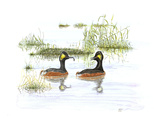 Black Necked Grebe Giclee Print by Friedhelm Weick
