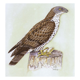 Honey Buzzard Reproduction procédé giclée par Friedhelm Weick