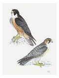 Falcons III Premium Giclee Print by Friedhelm Weick