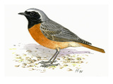 Common Redstart Premium Giclee Print by Friedhelm Weick