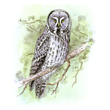 Great Grey Owl Giclee Print by Friedhelm Weick