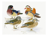 Ducks I Giclee Print by Friedhelm Weick