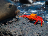 Seeloewe Und Klippenkrabbe auf Galapagos Photographic Print by Oliver Schwartz