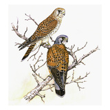 Kestrel Giclee Print by Friedhelm Weick