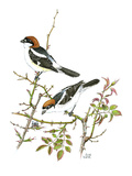 Woodchat Shrike Premium Giclee Print by Friedhelm Weick