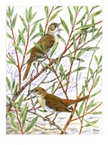Nightingale Giclee Print by Friedhelm Weick