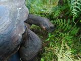 Riesenschildkroete auf Galapagos Photographic Print by Oliver Schwartz