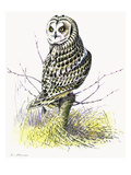 Short Eared Owl Giclee Print by Friedhelm Weick
