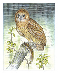 Pel's Fishing Owl Giclee Print by Friedhelm Weick