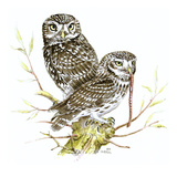Little Owl I Giclee Print by Friedhelm Weick