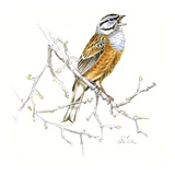 Rock Bunting Giclee Print by Friedhelm Weick