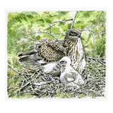 Short Toed Eagle Giclee Print by Friedhelm Weick
