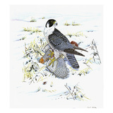 Peregrine Falcon Giclee Print by Friedhelm Weick