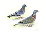 Stock Dove Giclee Print by Friedhelm Weick