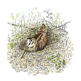 Woodcock Giclee Print by Friedhelm Weick