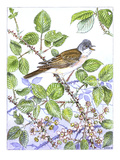 Whitethroat Giclee Print by Friedhelm Weick