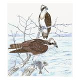 Osprey Giclee Print by Friedhelm Weick