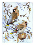 Waxwing Giclee Print by Friedhelm Weick