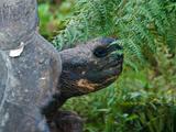 Riesenschildkroetenbulle Bei Der Paarung auf Galapagos Photographic Print by Oliver Schwartz