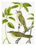 Sychelles Bush Warbler Giclee Print by Friedhelm Weick
