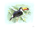 Toco Toucan Giclee Print by Friedhelm Weick
