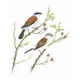 Red Backed Shrike Reproduction procédé giclée par Friedhelm Weick