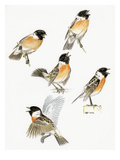 Stonechat Giclee Print by Friedhelm Weick