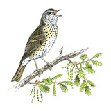 Song Thrush Reproduction procédé giclée par Friedhelm Weick