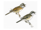 Whitethroat I Giclee Print by Friedhelm Weick