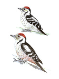 Woodpeckers II Giclee Print by Friedhelm Weick