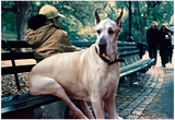 Great Dane on Central Park Bench NYC Plakaty