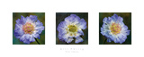 Three Scabious Art by Bill Philip
