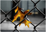 Yellow Leaf in Chain Link Fence Posters