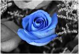 Rosa azul Fotografía