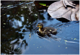 Baby Ducks on Pond Posters