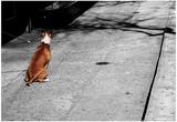 Brown & White Dog on Black & White Street Posters