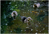 Baby Ducks on Pond Prints