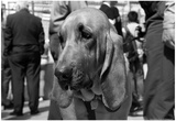 Bloodhound in NYPD K9 Unit Poster