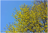 Yellow Flowers on a Blue Sky Prints