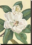 Afternoon Magnolia Stretched Canvas Print by Waltraud Fuchs von Schwarzbek