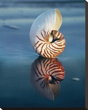 Tiger Nautilus Stretched Canvas Print by Ruth Burke