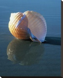 Tun Shell Stretched Canvas Print by Ruth Burke